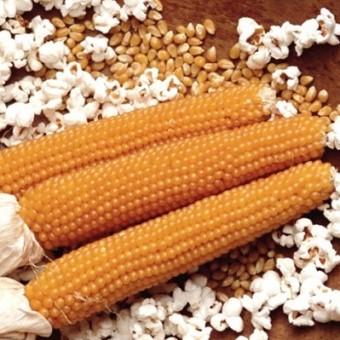 Насіння Кукурудза Попкорн GL SEEDS