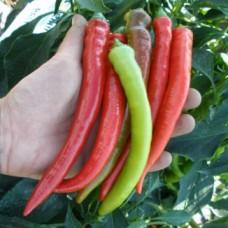 Насіння перець баранячий ріг gl seeds