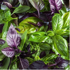 Насіння базилік 6 ароматів gl seeds