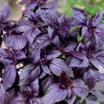 Насіння Базилік Фіолетовий GL SEEDS