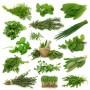 Зелень, Трави, Прянощі GL SEEDS