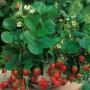 Суниця садова GL SEEDS
