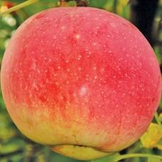 Саджанець яблуня дарк рубін