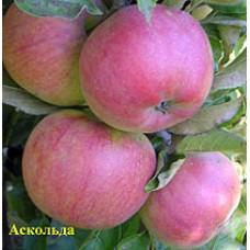 Саджанець яблуня аскольда