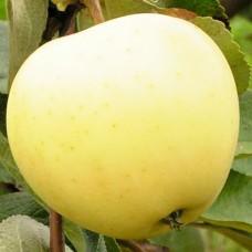 Саджанець яблуня білий налив