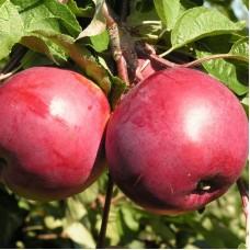 Саджанець яблуня богемія ред
