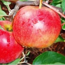 Саджанець яблуня декоста