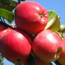 Саджанець яблуня едера