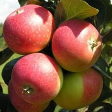 Саджанець яблуня олена