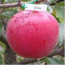 Саджанець яблуня еліза