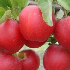 Саджанець яблуня гала маст