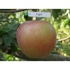 Саджанець яблуня ліголь