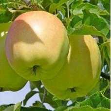Саджанець яблуня пепенка золотиста