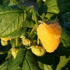 Саджанець малина ярославна