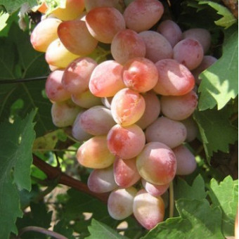 Саджанець виноград Аладін