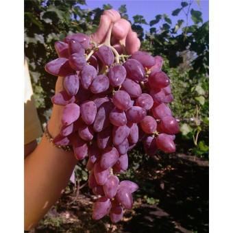 Саджанець виноград Аметист Новочеркаський в контейнері