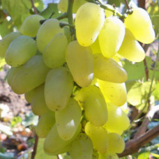 Саджанець виноград Бажена