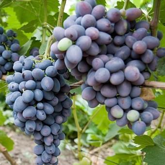 Саджанець виноград Гала в контейнері
