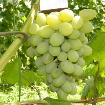 Саджанець виноград Галахад