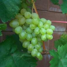 Виноград свіжий гарольд