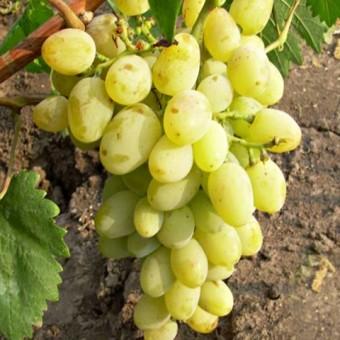 Саджанець виноград Гарольд