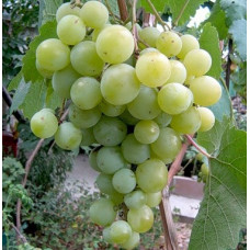 Саджанець виноград Кишмиш Кеша