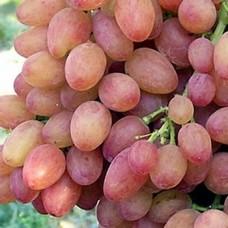 Саджанець виноград Кишмиш Лучистий в контейнері
