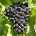 Саджанець виноград Кодрянка в контейнері