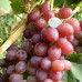 Саджанець виноград Лівія