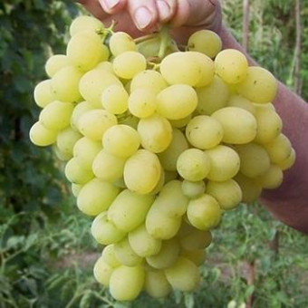 Саджанець виноград Лора (Флора)