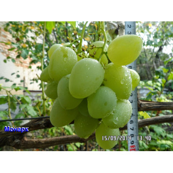 Саджанець винограду Монарх+Аркадія в контейнері