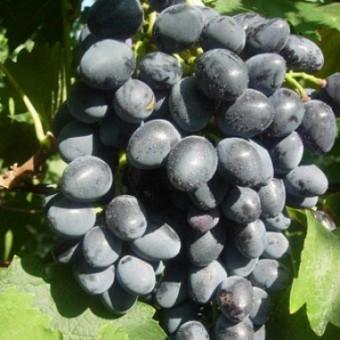 Саджанець виноград Надія АЗОС