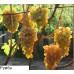 Саджанець виноград Румба