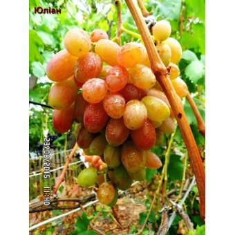 Саджанець виноград Юліан