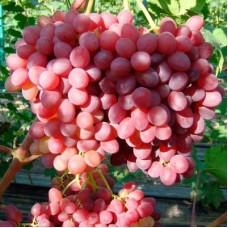 Саджанець виноград Велес