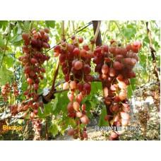 Саджанець виноград Віктор