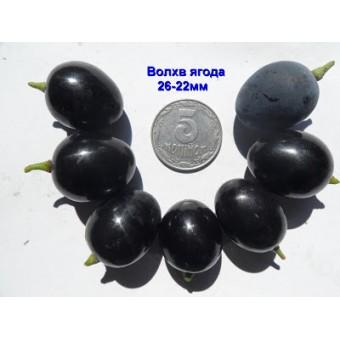 Саджанець виноград Волхв в контейнері
